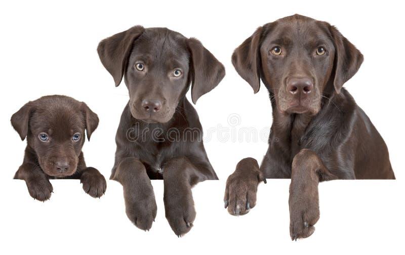 Fasi crescenti del cane fotografia stock