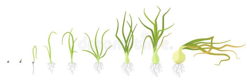 Fasi del raccolto della cipolla Piante di cipolla crescenti Ciclo di vita delle lampadine Biologia di crescita del raccolto Illus royalty illustrazione gratis