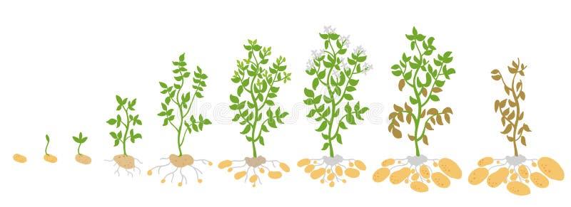Fasi del raccolto della patata Piante crescenti dell'illustrazione di vettore Il ciclo di vita Biologia di crescita del raccolto  royalty illustrazione gratis