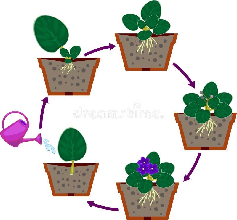 Fasi della riproduzione vegetativa di saintpaulia delle viole africane Sequenza delle fasi di crescita di pianta dalla sezione de royalty illustrazione gratis