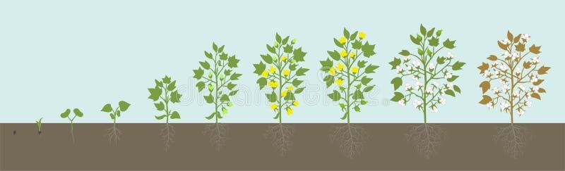 Fasi di coltura della pianta di cotone Crescita agricola Fase concime Crescita dell'animazione di sviluppo di Gossypium illustrazione vettoriale