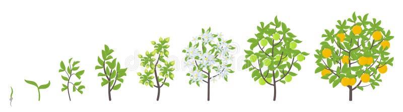 Fasi di crescita dell'albero di arance dolci Illustrazione di vettore Progressione di periodo di maturazione Pianta arancio di an illustrazione di stock