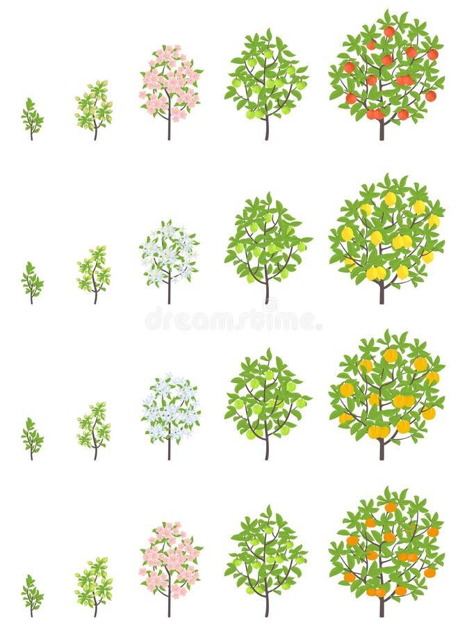 Fasi di crescita dell'albero da frutto Fasi di aumento del mandarino di Apple, della pesca e del limone Illustrazione di vettore  royalty illustrazione gratis