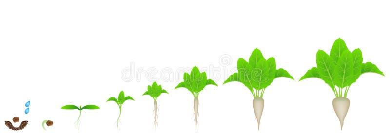Fasi di crescita della barbabietola da zucchero su un fondo bianco illustrazione di stock