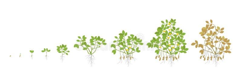 Fasi di crescita della pianta dell'arachide Fasi di aumento dell'arachide Illustrazione di vettore Arachis hypogaea Il ciclo di v illustrazione di stock