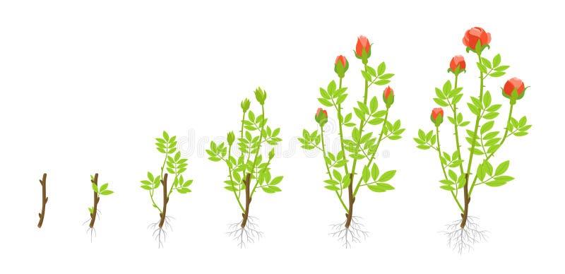 Fasi di crescita della pianta delle rose del giardino Illustrazione di vettore Tiri dai tagli Acni rosacee abyssinica di Rosa illustrazione di stock
