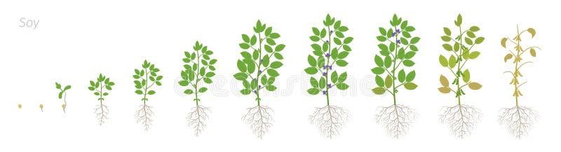 Fasi di crescita della pianta di soia con le radici Insieme di fasi della soia Glycine max Progressione di animazione illustrazione vettoriale