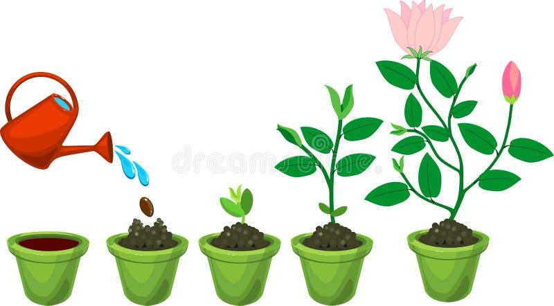 Fasi di crescita di pianta dal seme alla pianta di fioritura illustrazione vettoriale