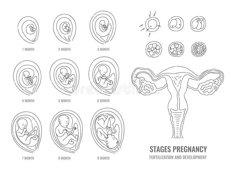 Fasi di gravidanza con il processo di fecondazione e di sviluppo dell'embrione royalty illustrazione gratis