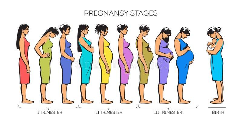 Fasi di gravidanza delle donne illustrazione di stock