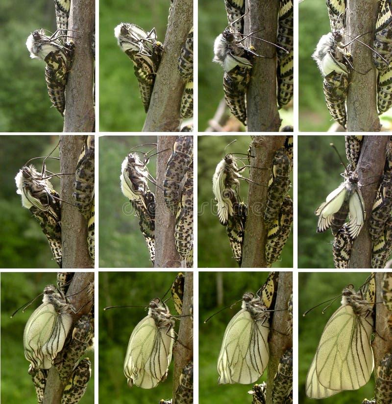 Fasi di sviluppo della farfalla fotografia stock libera da diritti