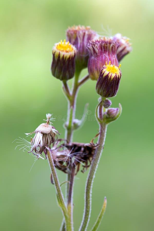 Fasi floreali differenti dei fiori del ironweed immagini stock libere da diritti