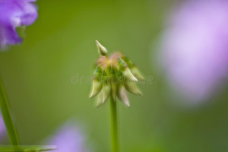 Fasole Coronilla roślina zamazują fotografia royalty free