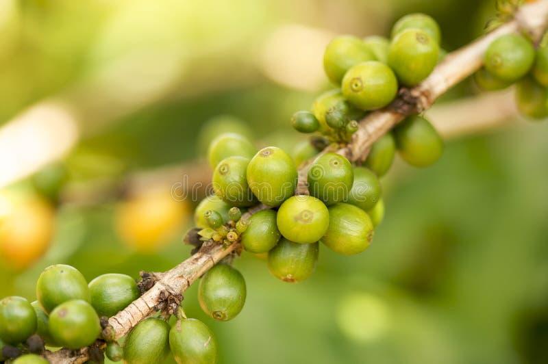 fasole rozgałęziają się kawę obraz stock
