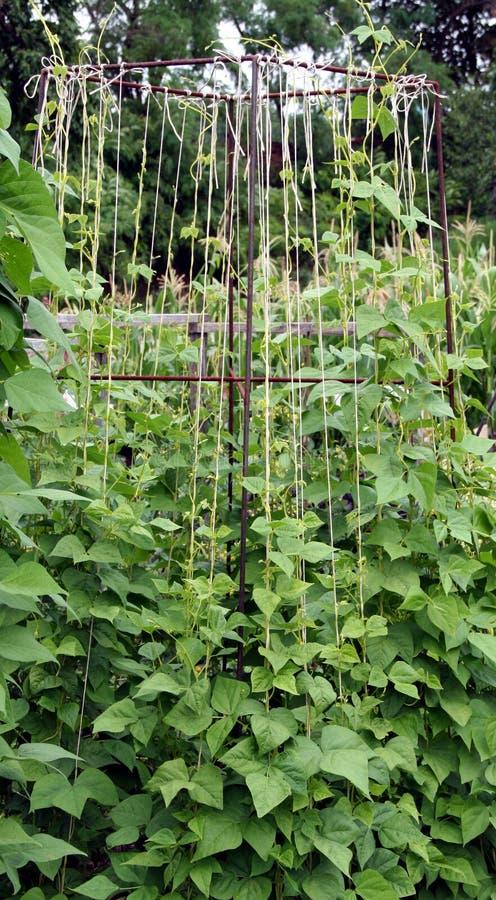 fasoli łóżka ogródu rośliny zdjęcie stock