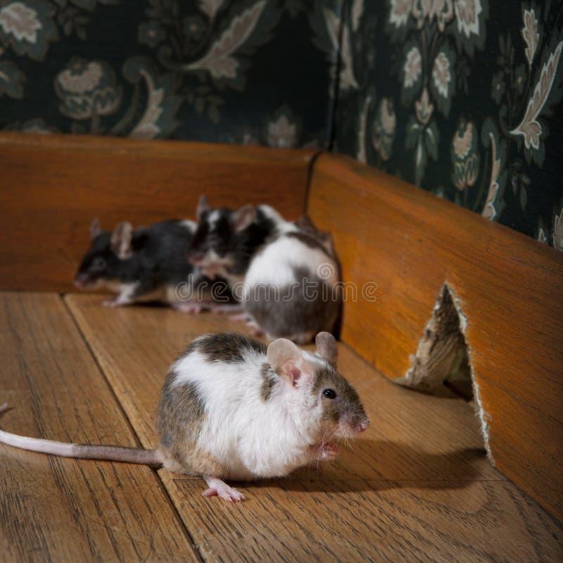 fasonujący grupowych luksusowych myszy stary ro odprowadzenie obrazy stock