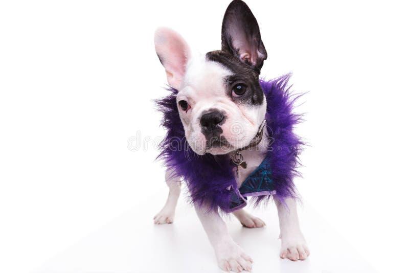 Fasonuje francuskiego buldoga szczeniaka psa jest ubranym purpurową owłosioną kurtkę obraz stock