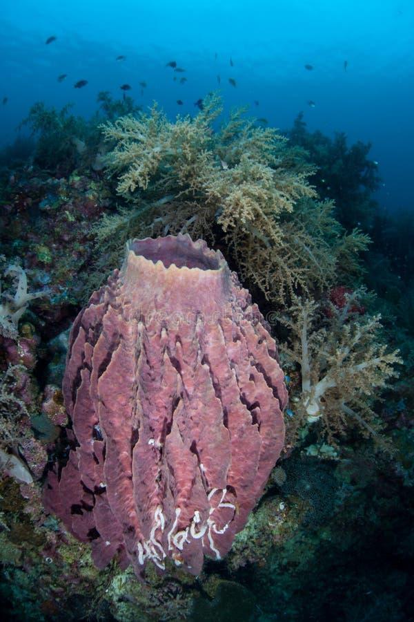 Fass-Schwamm auf schönem Riff stockbild