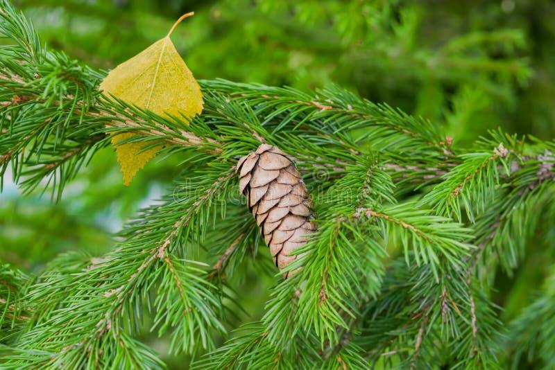 Fassen Sie auf der Niederlassung eines Koniferenbaums, Tanne im Herbst, Nahaufnahme zusammen lizenzfreies stockbild