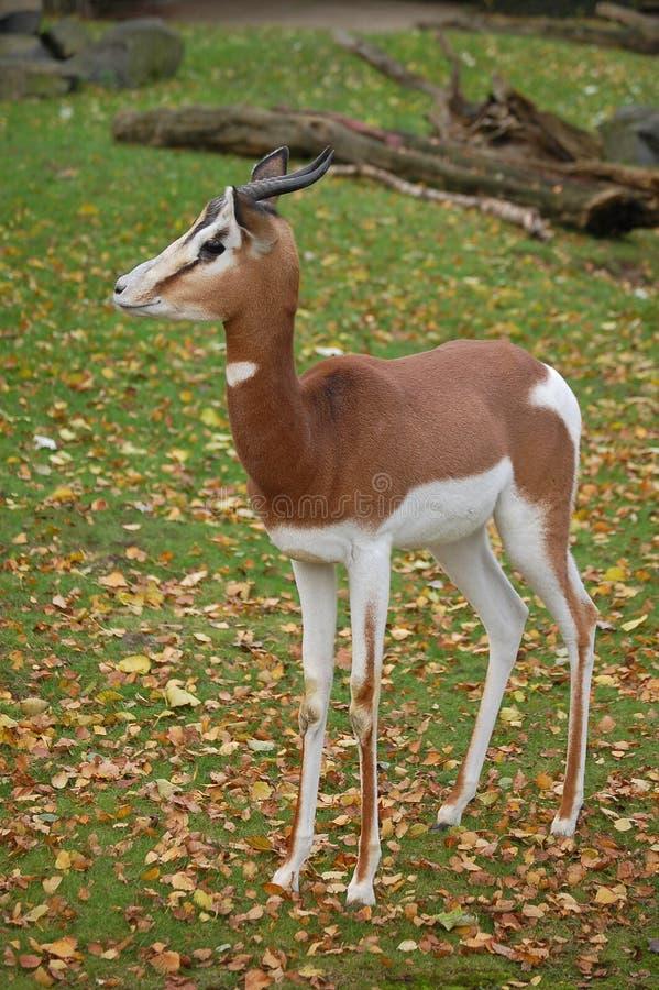 Free Fast Alert Antilope Gazelle Stock Photo - 5240640