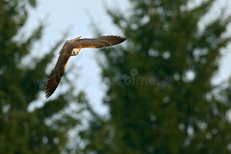 Fast bird in the fly. Lanner Falcon, bird of prey flying in nature with forest in the background. Action wildlife scene from stock images
