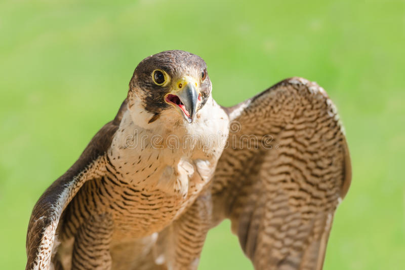 Fast bird predator accipiter or peregrine with open beak. Fast bird predator accipiter or peregrine with spread wings and open beak against green grass stock images
