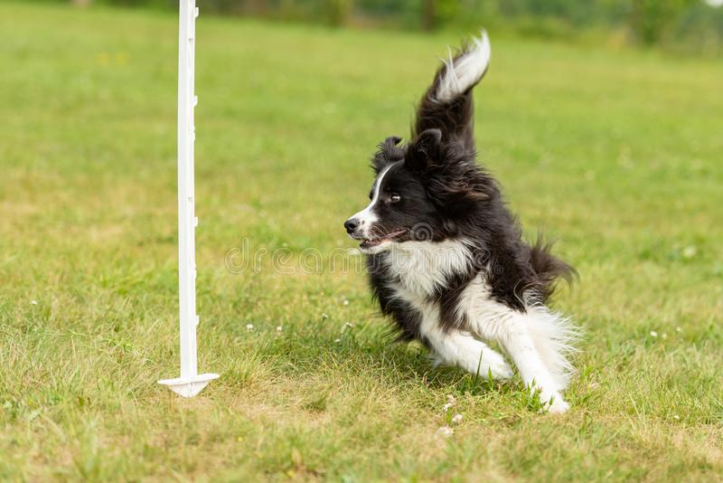 Fast border collie dog runs around a bar. Fast cute border collie dog runs around a bar royalty free stock image