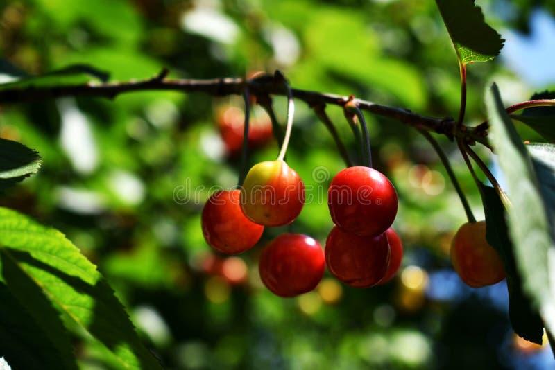 Fast reife Früchte der Sauerkirsche auf der Niederlassung lizenzfreies stockfoto