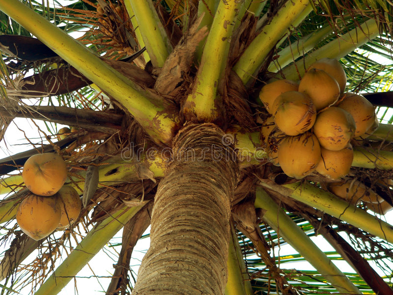 Fast reife Kokosnüsse stockfotos