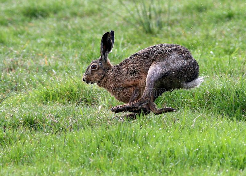 Fast Running Brown Hare royalty free stock photography