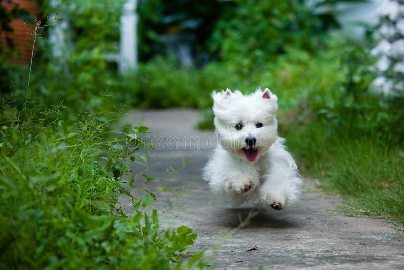 Fast running westie. Cute westie running fast like fly royalty free stock photo