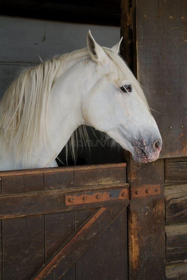 fast white för häst royaltyfri bild
