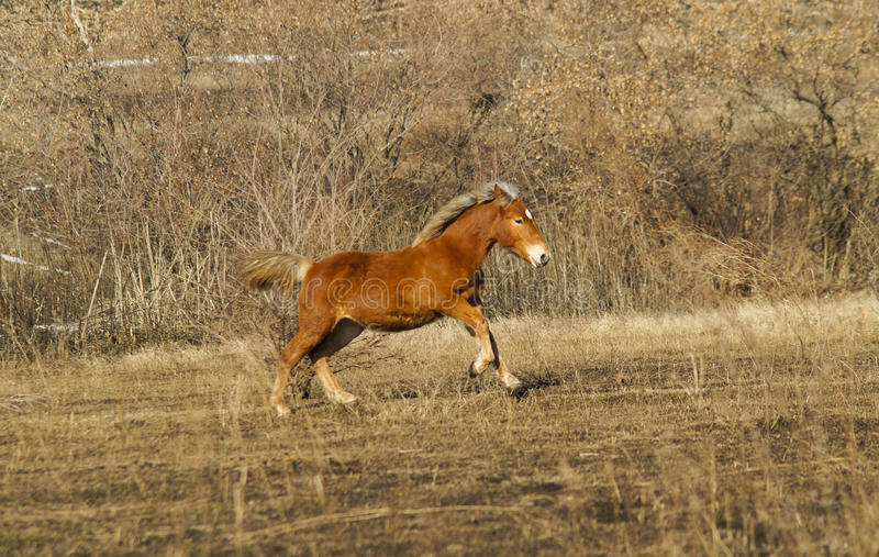 Fastar den röda hästkörningen på fältet royaltyfri fotografi