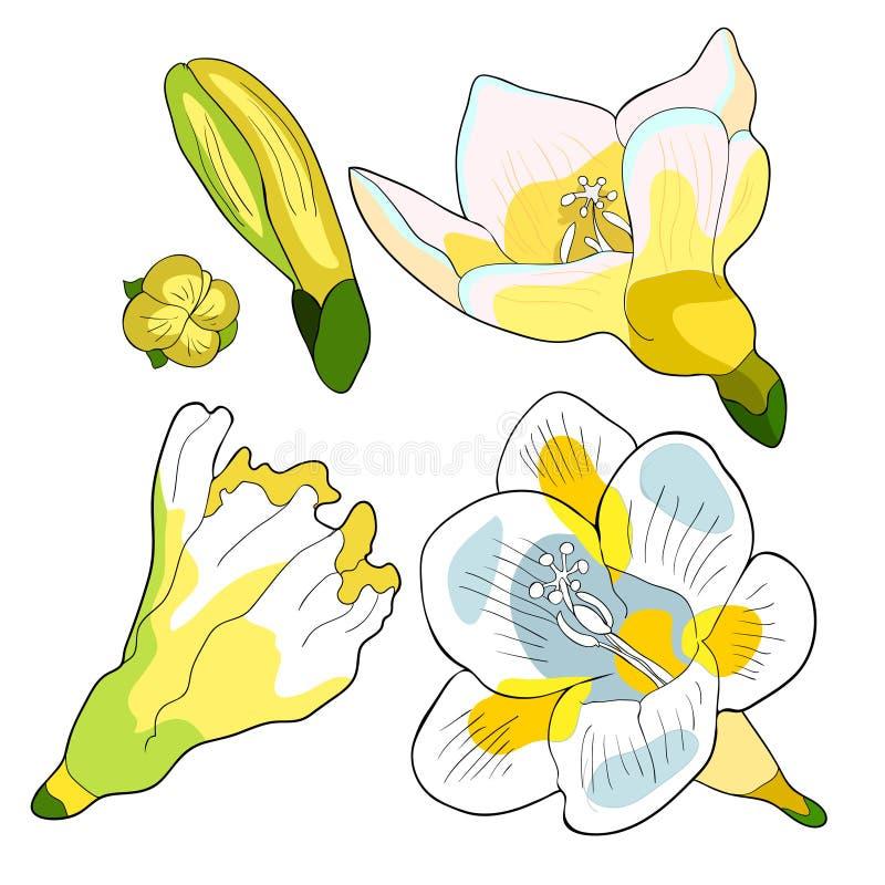 Fastställd blommafreesiasort av irisvektorillustrationen stock illustrationer