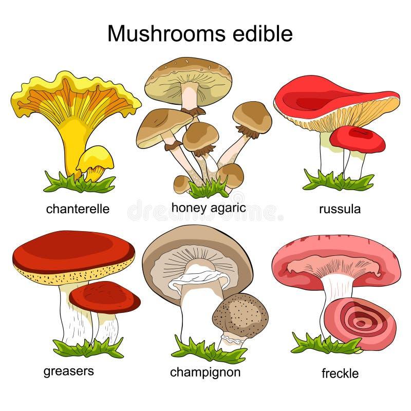 Fastställda naturliga champinjoner russula, kantarell, champignon, smörjare stock illustrationer