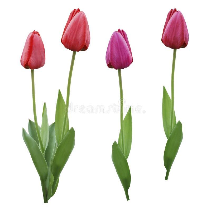 Fastställda röda rosa purpurfärgade tulpan Blommor på en vit isolerade bakgrund med den snabba banan closeup Inget skuggar Knoppa arkivfoton