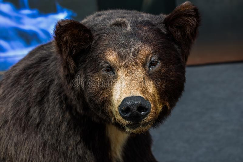Faszerująca duża czarnego niedźwiedzia głowa jako dzikie zwierzę fotografia royalty free