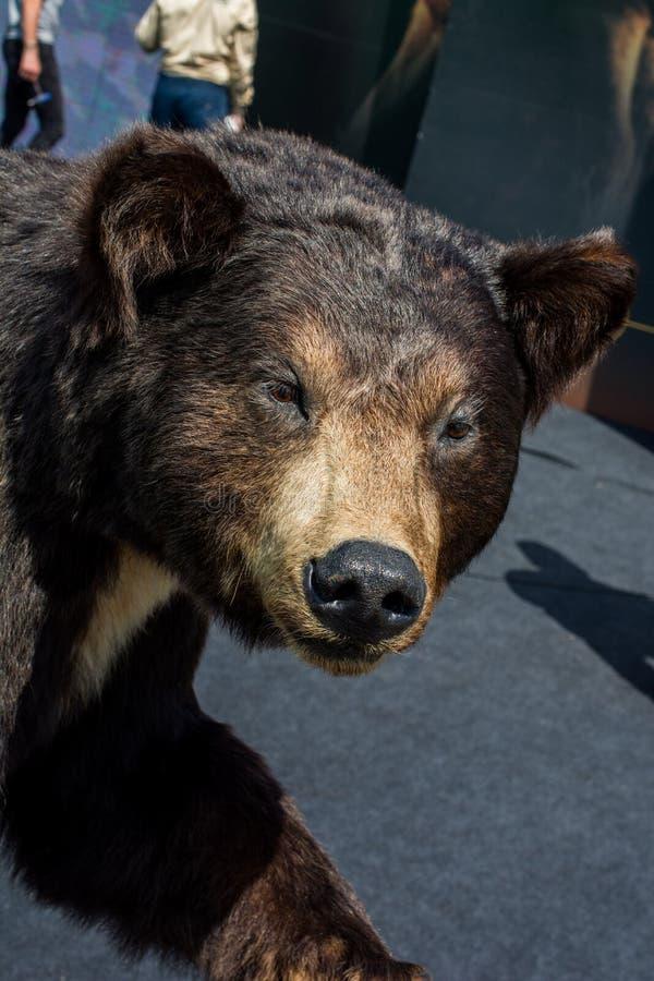 Faszerująca duża czarnego niedźwiedzia głowa jako dzikie zwierzę zdjęcie royalty free