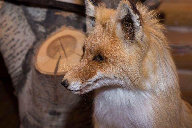 Faszerujący Czerwony Fox dekoruje w domu Czerwonego Fox taksyderma obraz royalty free