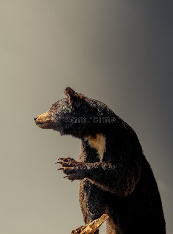Faszerujący duży czarny niedźwiedź jako dzikie zwierzę w widoku obrazy royalty free