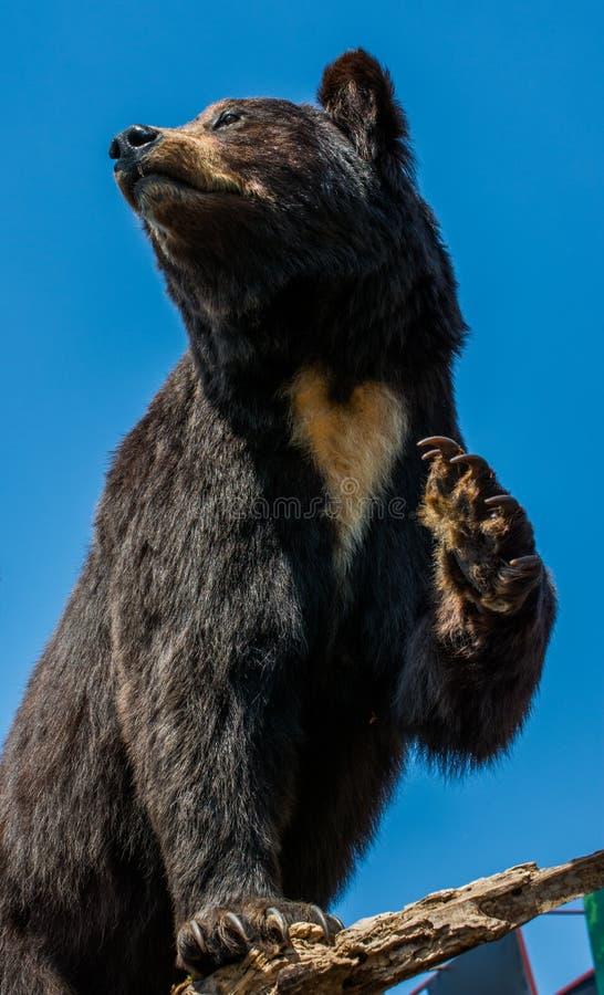 Faszeruj?cy du?y czarny nied?wied? jako dzikie zwierz? w widoku zdjęcie stock