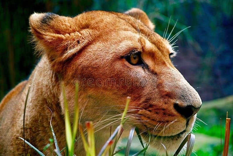 Faszinierende fehlerlose Löwin mit gestaltetem würdevollem Profil lizenzfreie stockbilder