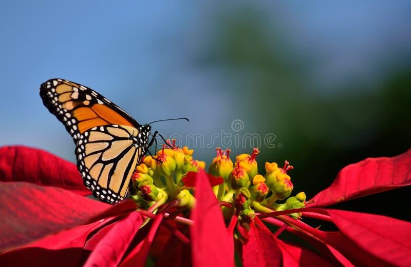 Faszinierender Monarchfalter und Poinsettia stockbilder
