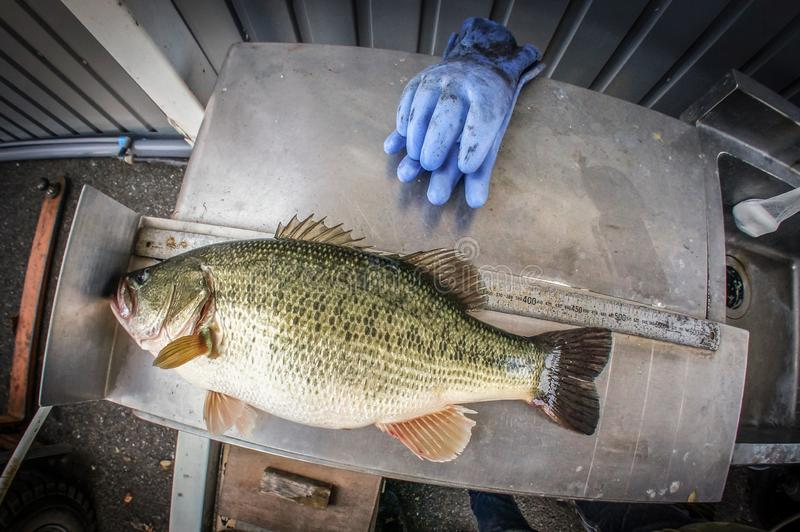 Fat bass fish. Lure, catch, release, games, size, measure royalty free stock photo