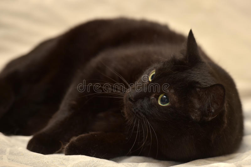 Fat black cat. With green eyes royalty free stock photography