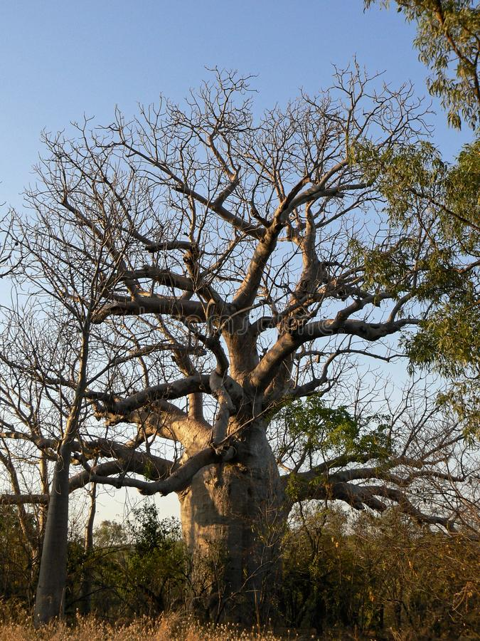 A Fat Bottled Boab Tree. A large boab Adansonia gregorii tree, amongst the vegetation against a clear sky in northern Australia stock image