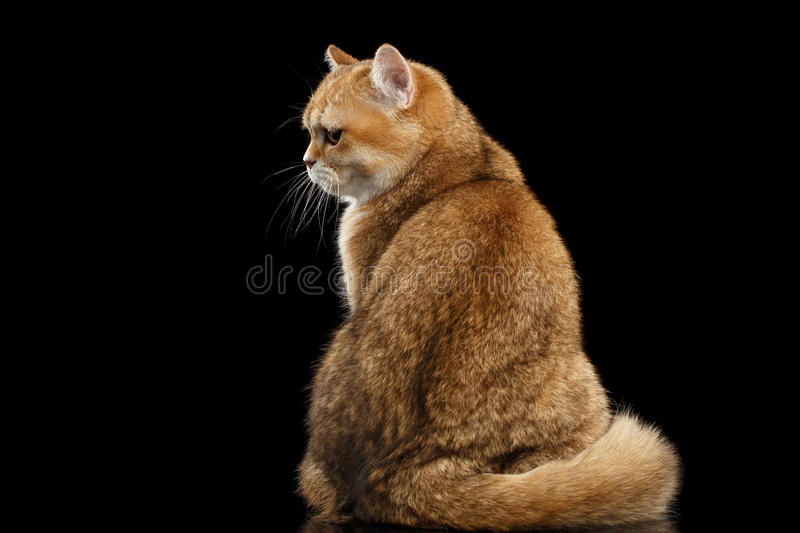 Fat British Cat Gold Chinchilla Sitting Back, Grumpy Black. Fat British breed Cat Gold Chinchilla color Sitting Back view and Looking Grumpy Black Background stock images