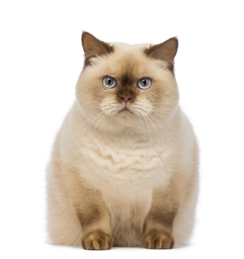 Fat British Shorthair, 2.5 Years Old, Sitting And Looking At The Camera Royalty Free Stock Photo