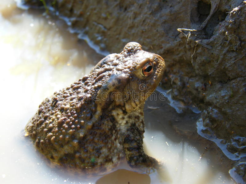 Fat brown toad royalty free stock photos