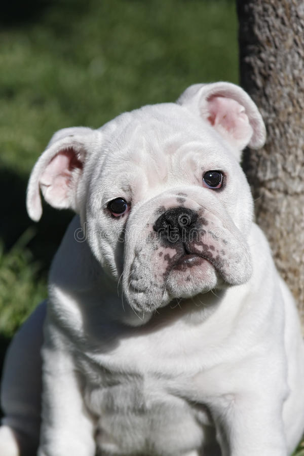 Fat bulldog puppy. A fat little English Bulldog puppy sitting by a tree royalty free stock images